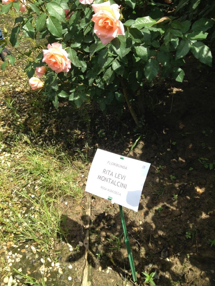 Rose Barni : a rose dedicated to Nobel prize Rita Levi Montalcini