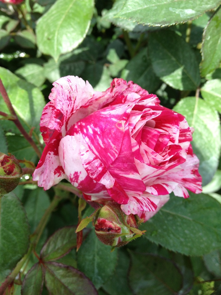 Rose Barni: