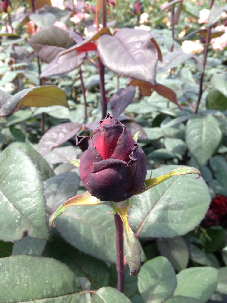 Rose Barni : a black  velvet rose