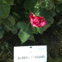 Rose Barni : Barbra Streisand rose