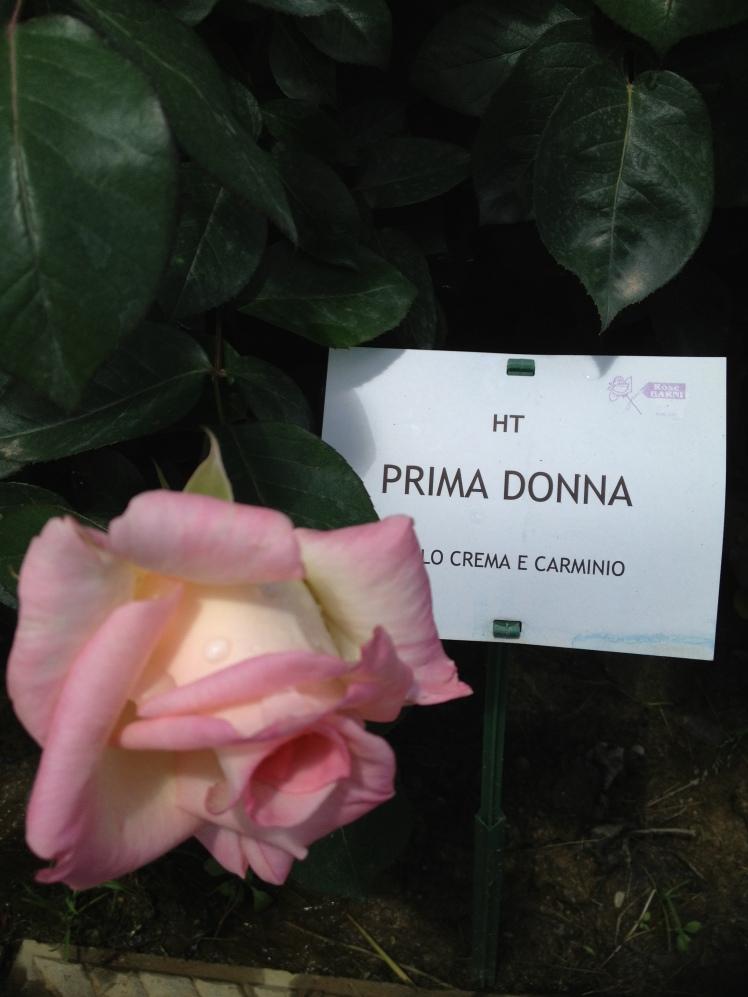Rose Barni : Niso Fumagalli's rose