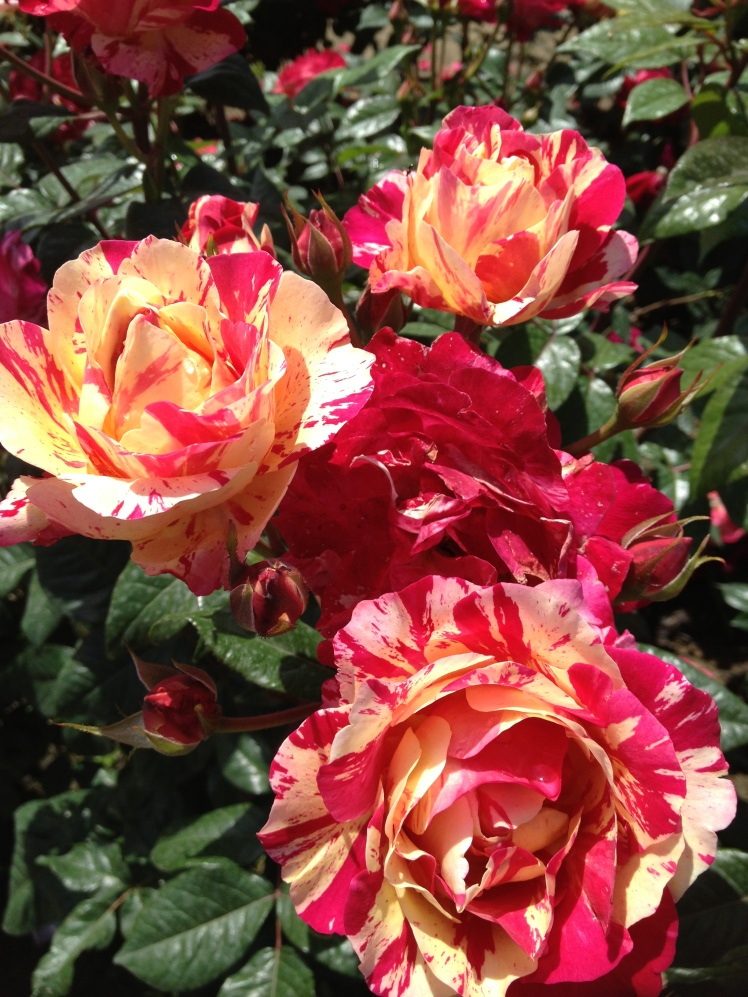 Rose Barni : a stunning  variegated quality