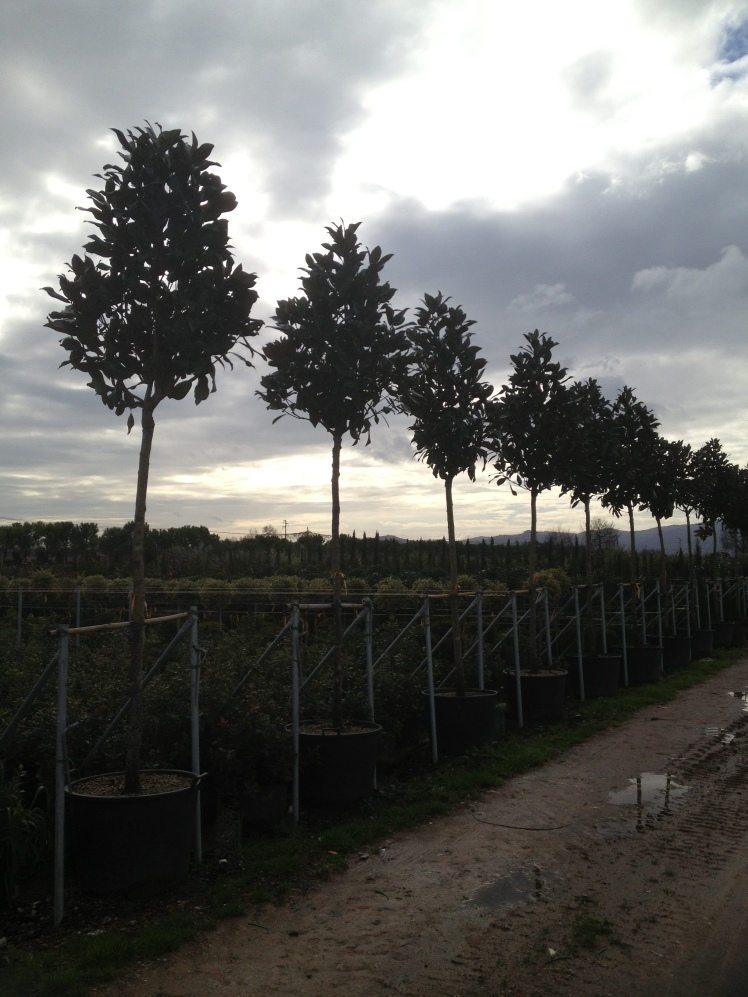 Pistoia :  visit a nursery  with magnolia trees