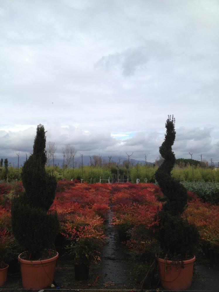 Pistoia, nursery - Ars topiaria