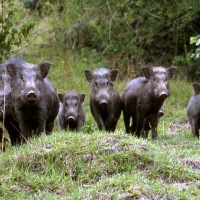 Wild boars in the garden - Sardinia Mon Amour
